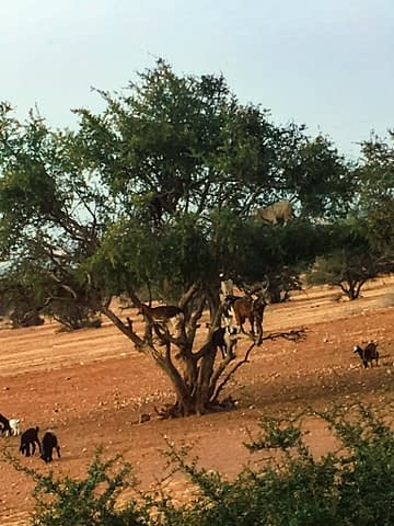 Goats in a tree as part of the Morocco travel guide